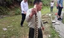 金华惊现手腕粗的毒蛇王 差点被烧烤