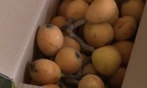 又到水果飘香季 雷甸枇杷喜丰收 下周大规模上市