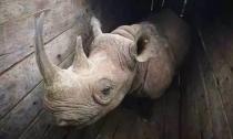 狮子会攻击笨拙的肯尼亚公园搬迁的唯一犀牛幸存者