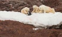 """北极熊们的""""新玩具"""",近看很心痛,是人类造的恶果!"""