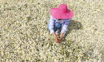菊农种1000余亩菊花 纯收入400余万
