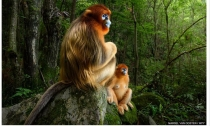 秦岭仰鼻猴照片赢国际野生动物摄影大赛头奖