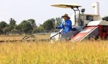 又是一年水稻熟  清溪鳖业喜丰收
