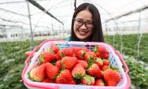草莓甜 游客旺
