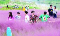 粉红田野 游客如织