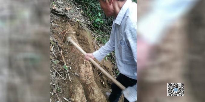 市民挖出284斤巨型野生葛根